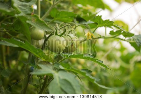Tomatoes green in the greenhouse natural background