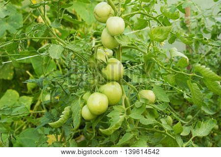 Green tomatoes on the bush. Close up