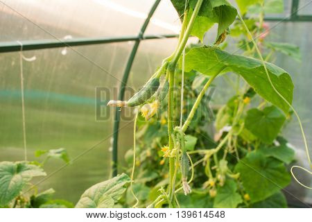 Flower bud and cucumber on a rope garter in a greenhouse