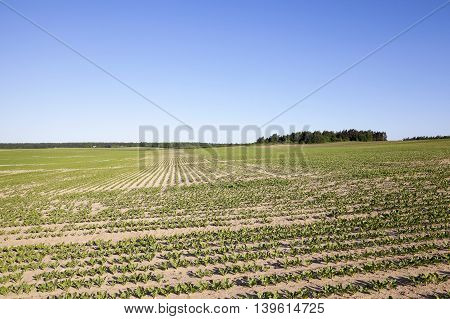 the agricultural field on which grow sprouts beetroot. Spring