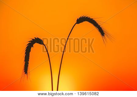 Silhouettes of two ripe spikelets of wheat against the backdrop of the sunset sky.