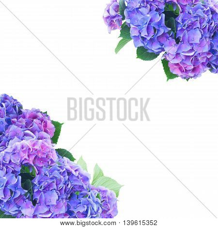 blue and violet hortensia flowers over white background