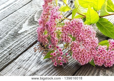 Lush branch flowering pink spirea on a dark wooden background with space for text