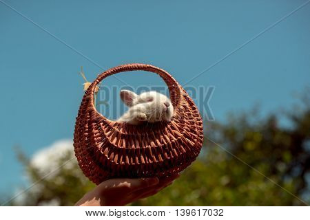 Cute hare little domestic pet with soft white fur in wicker basket in hand on green tree and blue sky natural background
