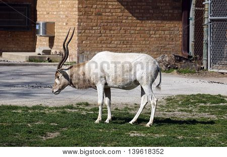 An addax antelope (Addax nasomaculatus) stands in profile.
