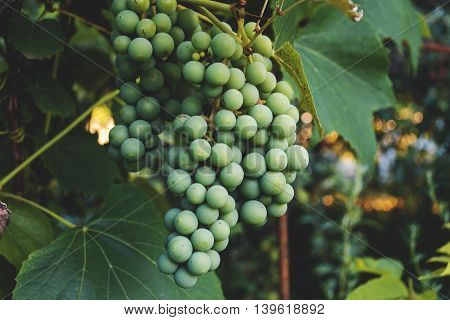 Green Grapes Fruit On The Vine
