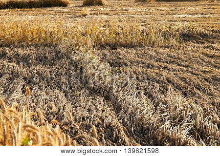 photographed close-up field in which the element is destroyed mature wheat