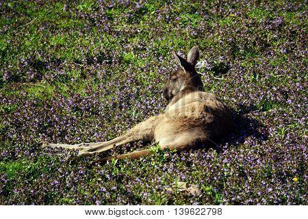A western grey kangaroo (Macropus fuliginosus) rests on the ground.