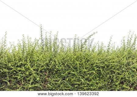 Pattern Of Green Plant Wall Texture Isolated On White