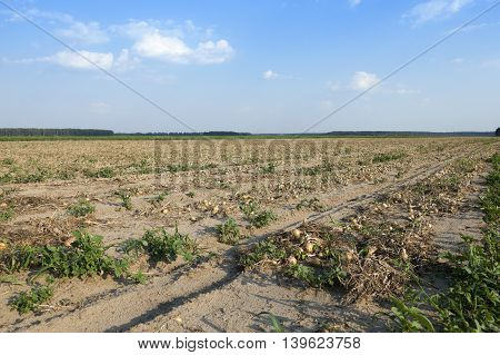 agricultural field where harvesting and onions, close up