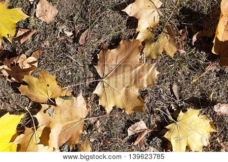 The fallen from the trees and lying on the ground and the grass turned yellow foliage, autumn season, a small DOF,