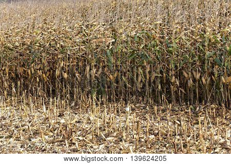agricultural field where maize is grown. ripe corn