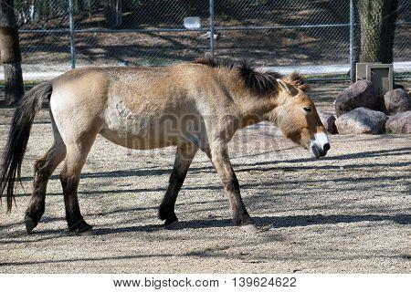 A Przewalski's wild horse (Equus ferus przewalskii) walks slowly to the right.