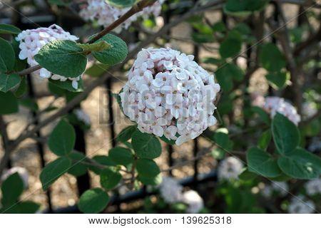 Burkwood viburnum flowers bloom in Illinois during April.