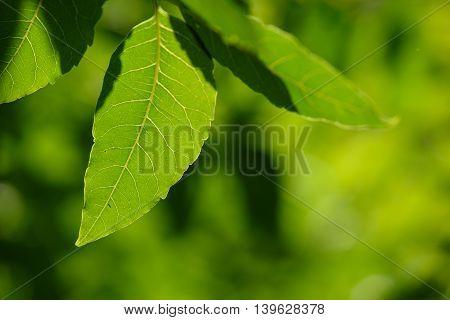 Neem Leaves,azadirachta Indica,medicinal Plant