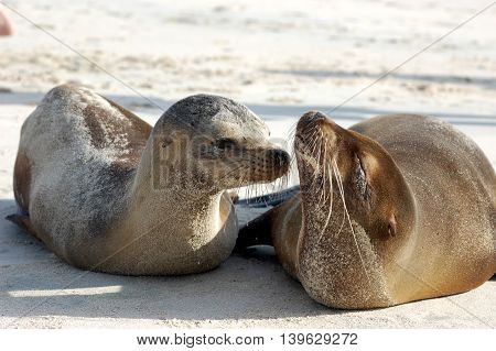 Baby sea lion with mom at Cerro Brujo, San Cristobal Island