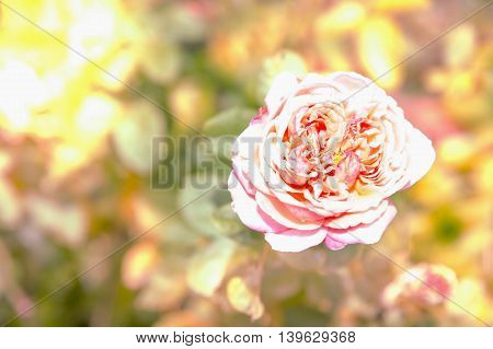 single pink rose with soft nature background