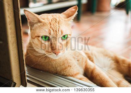 Thai cat so cute, yellow cat at home.