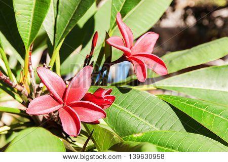Red Plumeria on the plumeria tree frangipani tropical flowers. Plumeria acuminata Aiton or West Indian Red Jasmine.