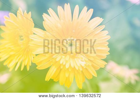 A beautiful yellow gerbera with color filter