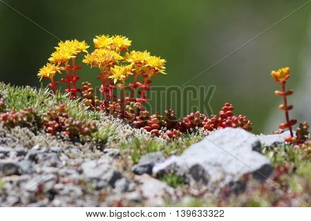 Cascade Stonecrop flowers (Sedum divergens) in bloom