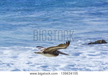Cormorant Hunting And Flying Over The Surface Of The Ocean