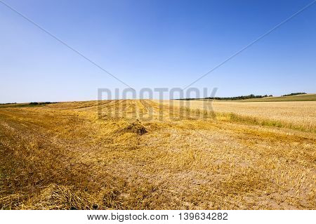 wheat field at which the harvest. Blue sky.