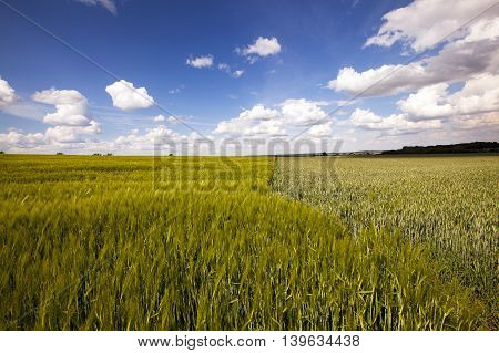an agricultural field on which grow up cereals