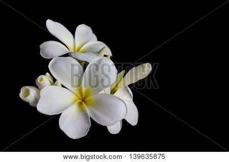 Isolate Beautiful White Flower Plumeria Or Frangipani On Black