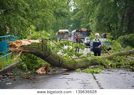 SAINT PETERSBURG, RUSSIA - JUNE 16, 2016: The bus conductor looks at the fallen tree after a thunderstorm a tree, blocked the street