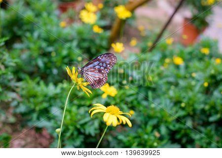 Close up of butterfly seeking nectar on a yellow flower in garden.