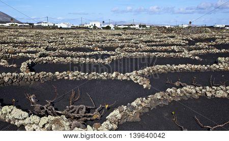 Wine growing in volanic region La Geria Lanzarote