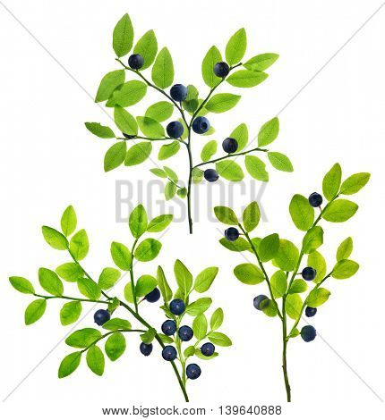blueberry branches isolated on white background