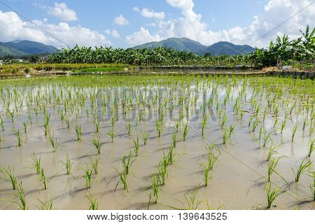 Green paddy fields and sky