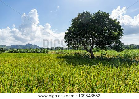 Rice meadow and tree
