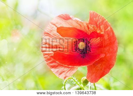 Bud of red poppies on a green field