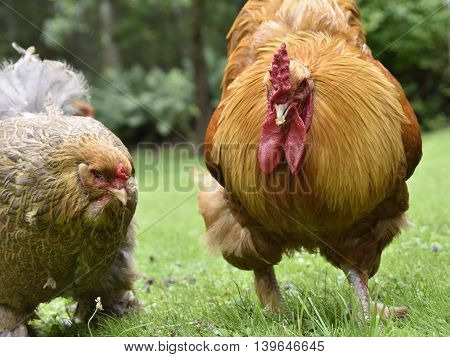Chicken and a rooster walking on green grass.