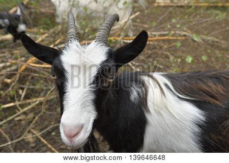Black and white goat (capra) with antler staring into camera.