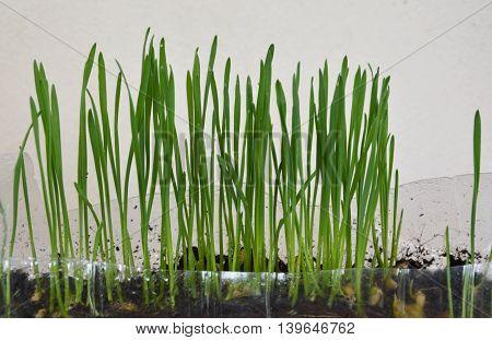 wheat grass for feeding pet grow in plastic bottle