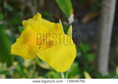 Canna lily tropical water flower in garden