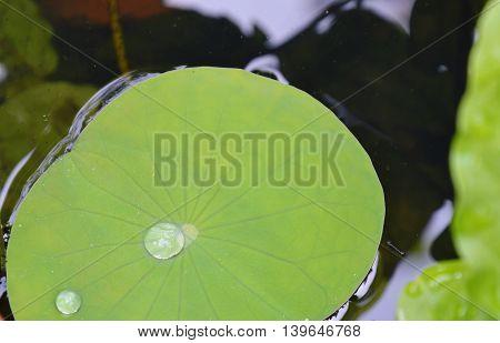 drop of water rolling on lotus leaf