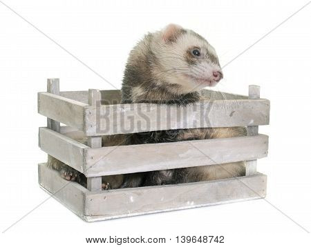 brown ferret in front of white background