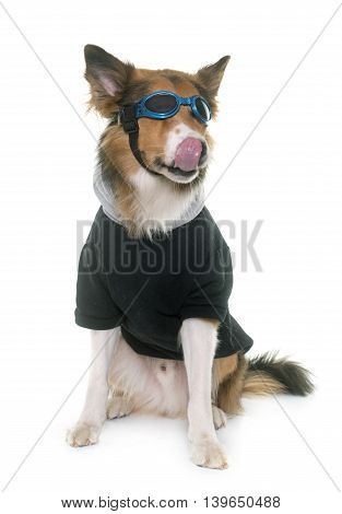 dressed border collie in front of white background