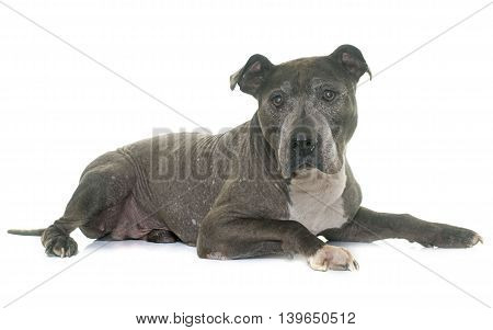 old pitbull in front of white background