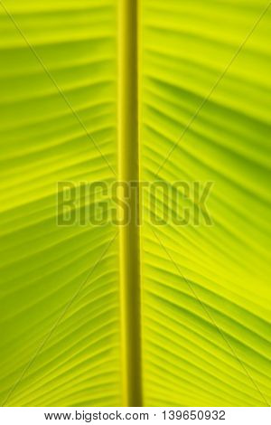 Light and shadow Green Banana Leaf Background