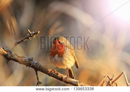 robin in the rays of the rising sun with sunny , symbol of Christmas, Symbol UK