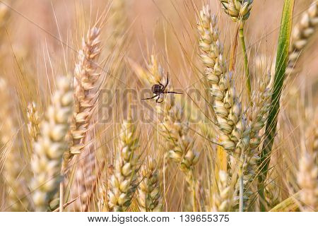 Spica Of Corn In The Field With Spider