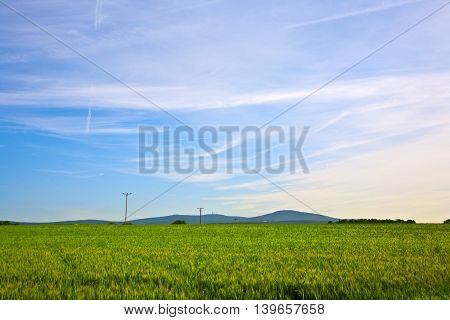 spica of wheat in green corn field