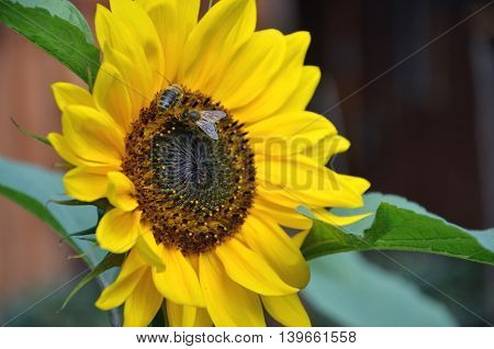 Two honey bees on sunflower in bloom collect flower nectar and pollen
