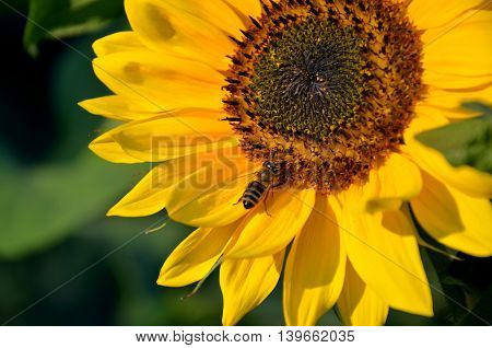 Honey bee on sunflower in bloom collect flower nectar and pollen in sunshine